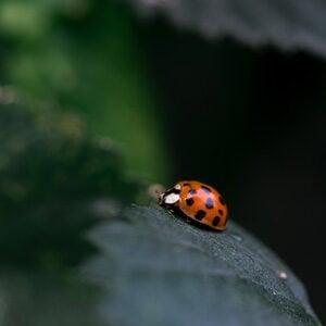 close-up of lady bug